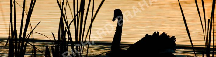 Courting Swan